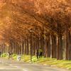 錦秋のメタセコイア並木 #7