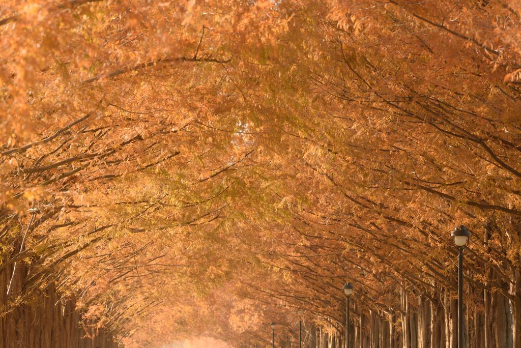 錦秋のメタセコイア並木 #6