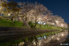 岡崎公園 夜桜 (7)