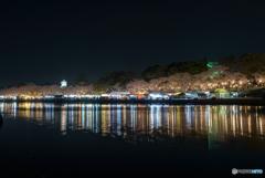 岡崎公園 夜桜 (5)