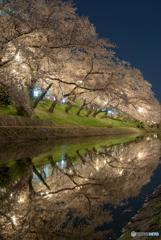 岡崎公園 夜桜 (8)