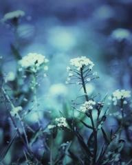 ぺんぺん草の花畑