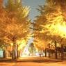 夜のイチョウ並木