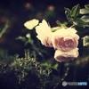 薔薇の吐息が聴こえる