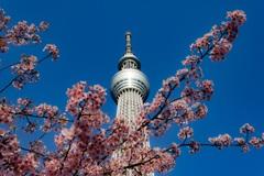 河津桜×東京スカイツリー