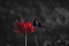 羽の折れた蝶