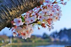 2018の桜。