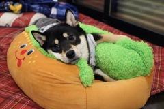 柴犬くまとホットドッグベッド