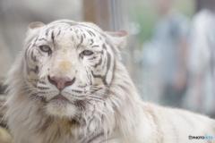東武動物公園 優しい顔のホワイトタイガー
