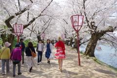 弘前さくら祭り 満開のさくらと赤い服を着た金髪の女性の後姿