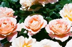 フィルム イングリッシュガーデン 薔薇3