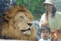 東武動物公園 子供に見つめられるライオン(オス)