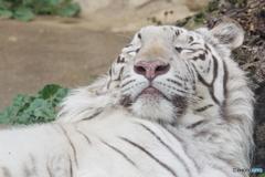 東武動物公園 爆睡のホワイトタイガー