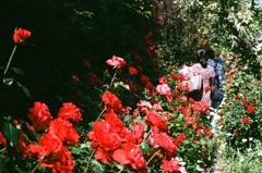 フィルム イングリッシュガーデン 薔薇 赤