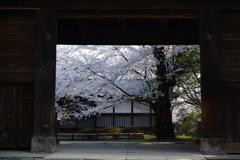 弘前さくら祭り 門から見えるさくら
