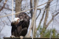 雪を喰らうチンパンジー