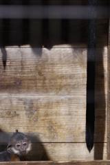 春の嵐の後のズーラシア 上に登りたいフランソワルトンの子供