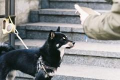 フィルム 撮影されるかわいい柴犬