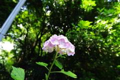 紫陽花 隠れた名所 個人のお宅