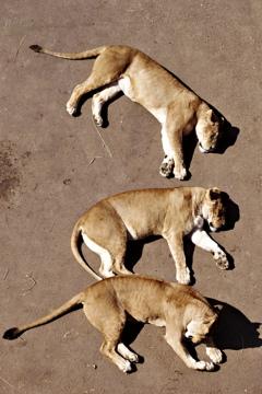 みんなで日向ぼっこ ライオン