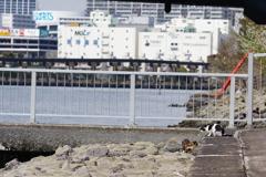 大井町埠頭公園 野良猫と桜 餌を探す