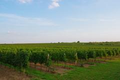 チェコ ブドウ畑