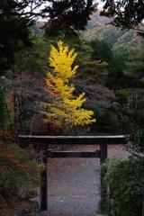 奥多摩湖 小河内神社 黄金の木