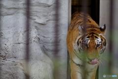 野毛山動物園 のそのそ出てくるメイメイ