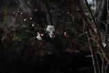 謎のレンズで散歩 梅