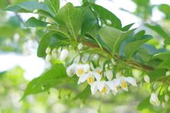 外交官の家 端午の節句 白い小さな可愛い花