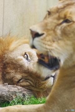 東武動物公園 眼光鋭いライオン