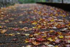 奥多摩湖 小河内神社への道 散ってもきれい