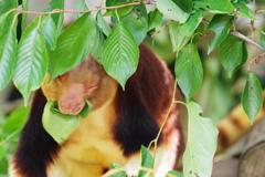 ズ-ラシア 葉っぱをかぶりつくアカゲキノボリカンガルー