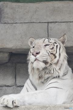 東武動物公園 ちょっと起きたホワイトタイガー