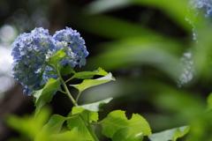 綺麗な紫陽花 FUJINON 135mm f3.5