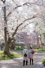弘前さくら祭り 可愛いおそろいの帽子をかぶった女性達の後ろ姿とさくら