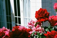 フィルム イングリッシュガーデン 薔薇 真っ赤