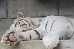 東武動物公園 やっぱり眠いホワイトタイガー