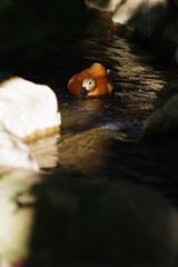 夕方のズ-ラシア 泳ぐ