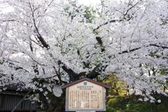 弘前さくら祭り 日本最古のソメイヨシノ