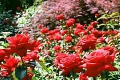 フィルム イングリッシュガーデン 薔薇2
