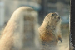 プレーリードッグさん 東山動植物園 北園
