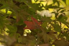 紅葉準備 東山動植物園