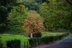 野中の柿の木