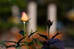薔薇のつぼみ フラリエ