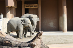 アジアゾウ さくらちゃんとお母さん 東山動植物園