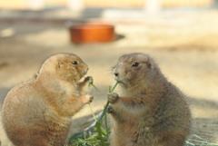 プレーリードッグさん 東山動植物園
