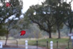 今朝の紅葉葉っぱ浮遊 蜘蛛の巣