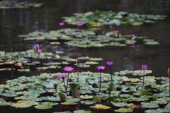 睡蓮の池 ふらっとフラリエ