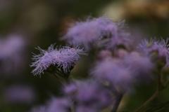 フラリエ 淡い紫 JPEG